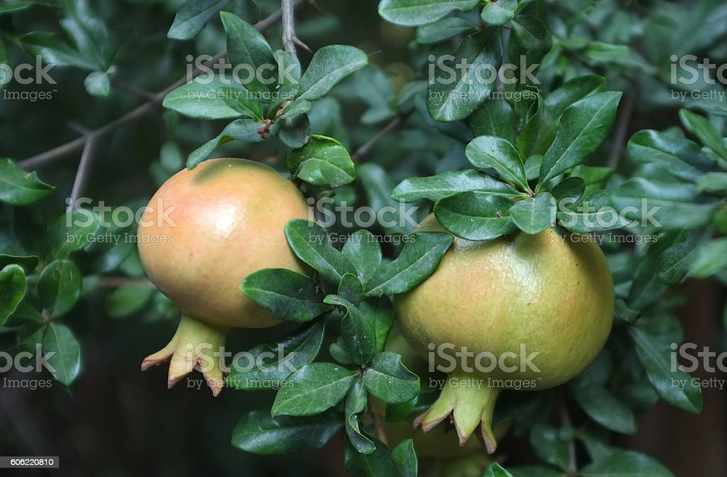 Pomegranates on tree stock photo