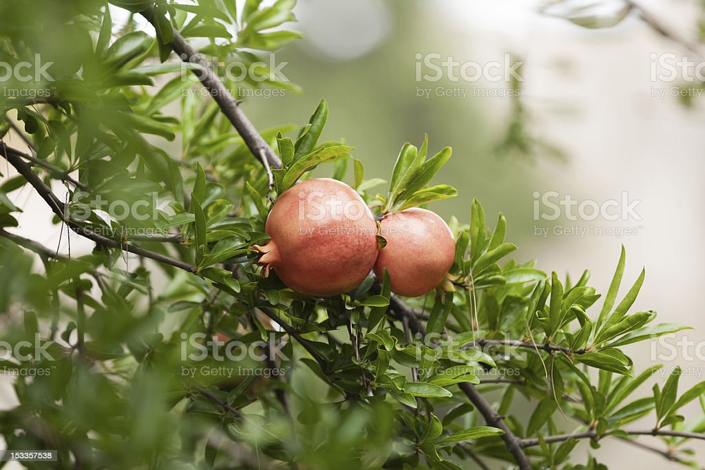 Pomegranite tree with fruits royalty-free stock photo
