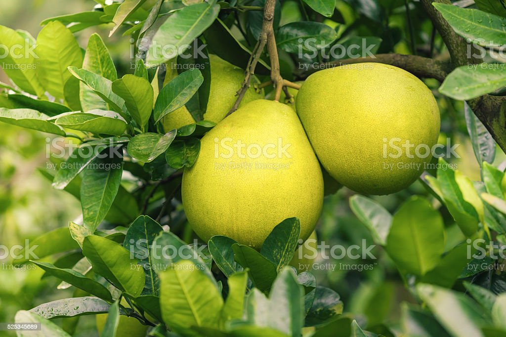 Pomelo hanging on tree stock photo