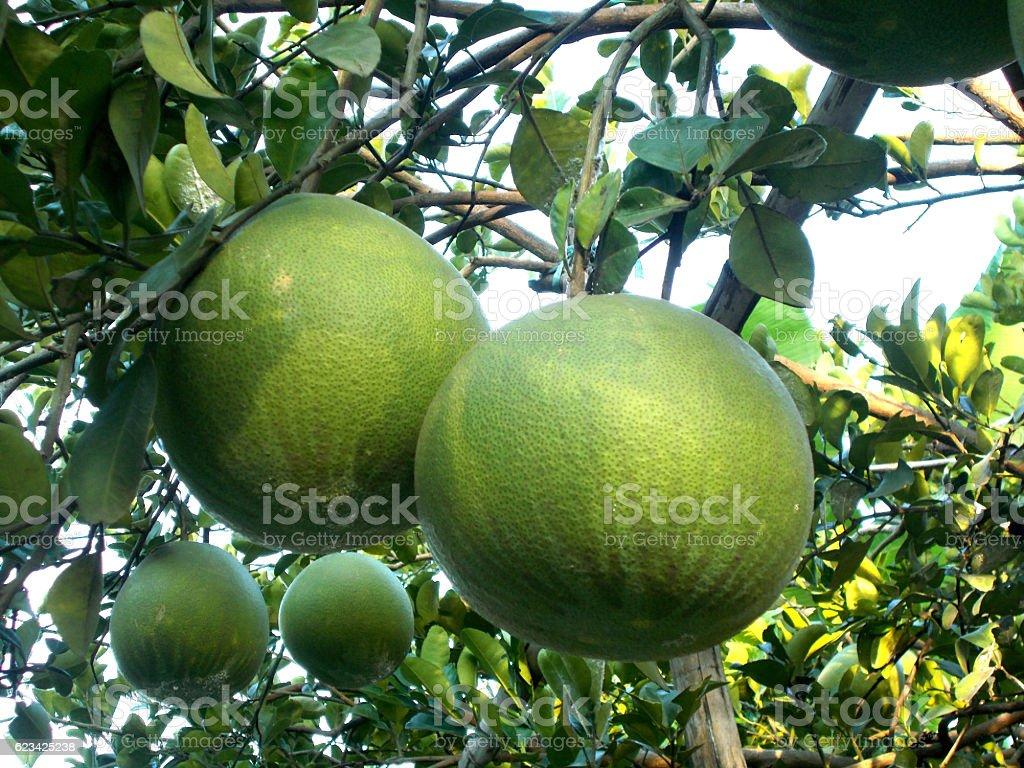 pomelo tree stock photo