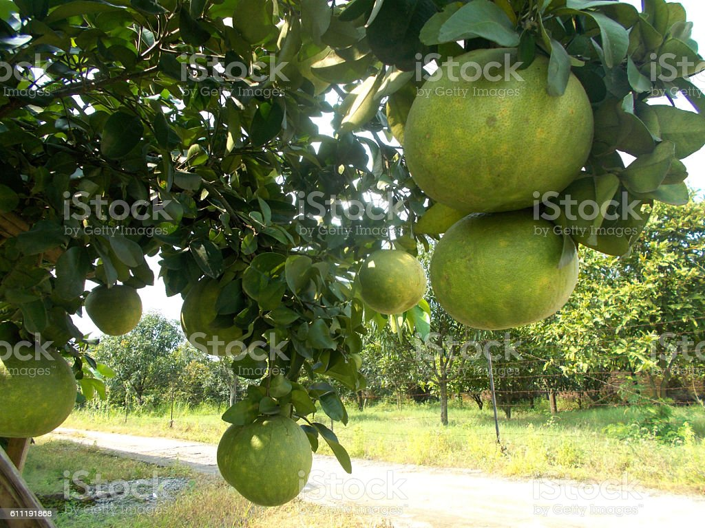 pomelo tree with fruits stock photo
