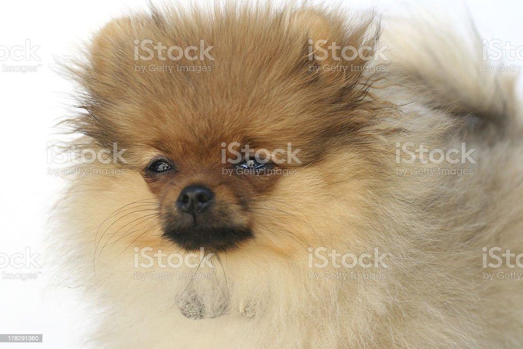 Pomeranian 2 stock photo