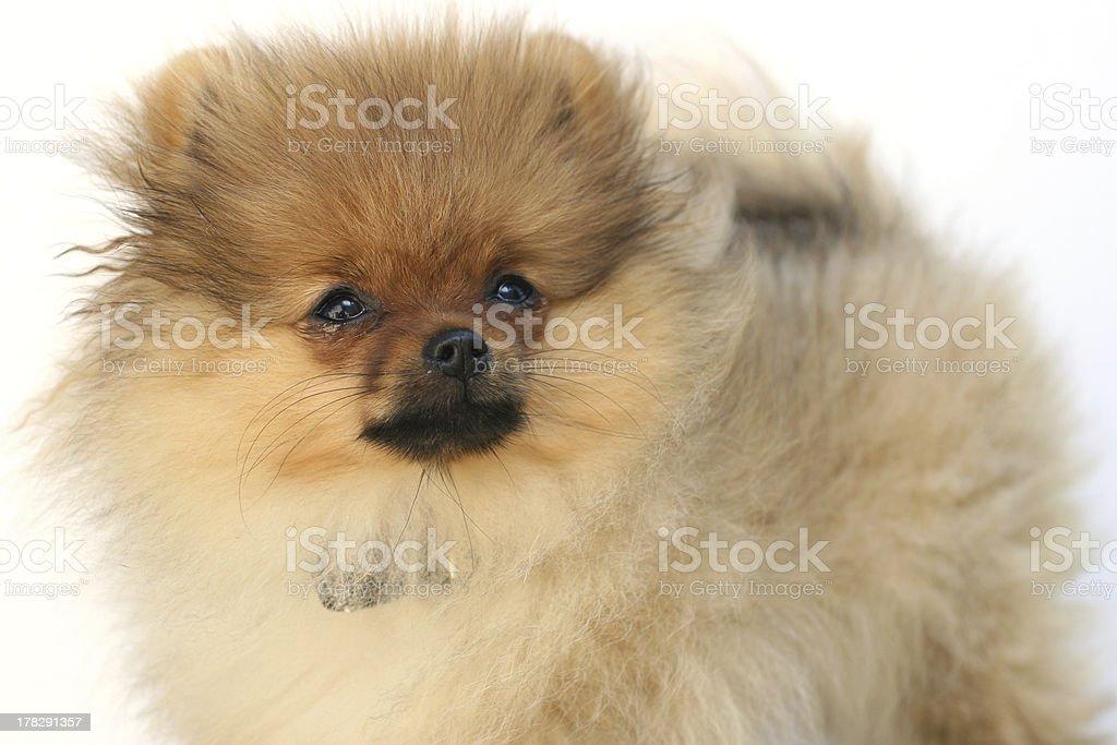 Pomeranian 3 stock photo