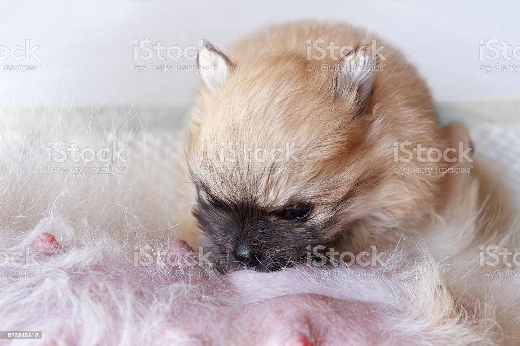 Pomeranian cream puppy stock photo