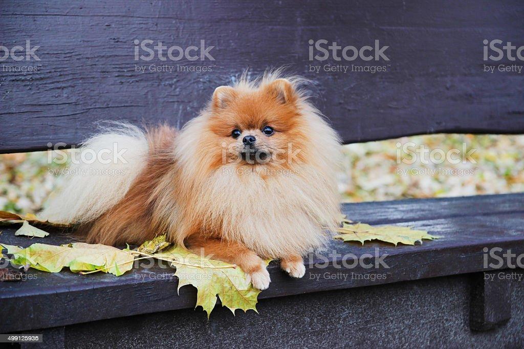 Pomeranian dog. Funny autumn pomeranian dog. stock photo
