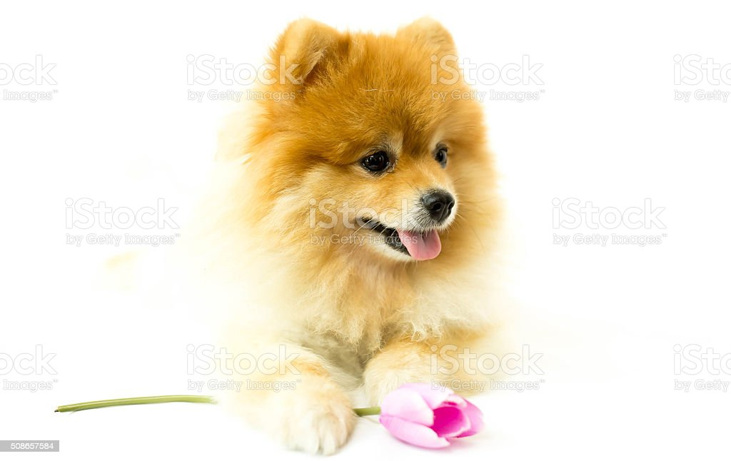 Pomeranian dog holding a flower in isolated stock photo