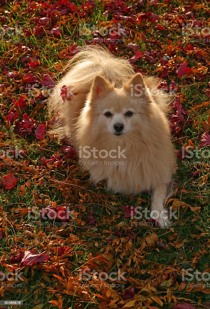 Pomeranian Dog in Autumn Leaves royalty-free stock photo