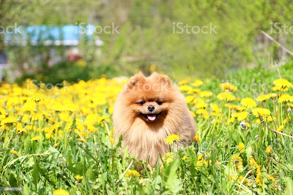 Popular Pomeranian Canine Adorable Dog - pomeranian-dog-in-dandelion-blowing-cute-beautiful-dog-picture-id530807096  Gallery_797891  .com/photos/pomeranian-dog-in-dandelion-blowing-cute-beautiful-dog-picture-id530807096