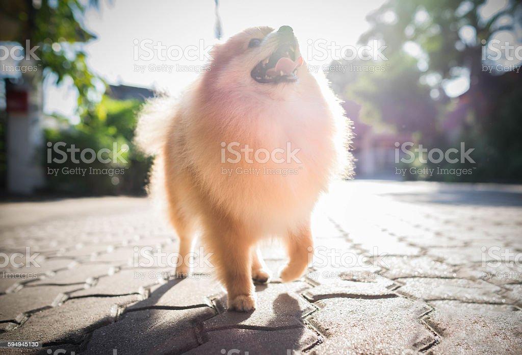 pomeranian dog in summer park, Soft focus with sun. stock photo