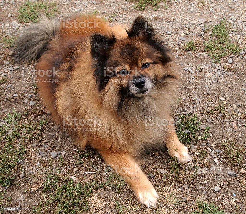 Pomeranian dog lying on ground looking towards camera photo. stock photo