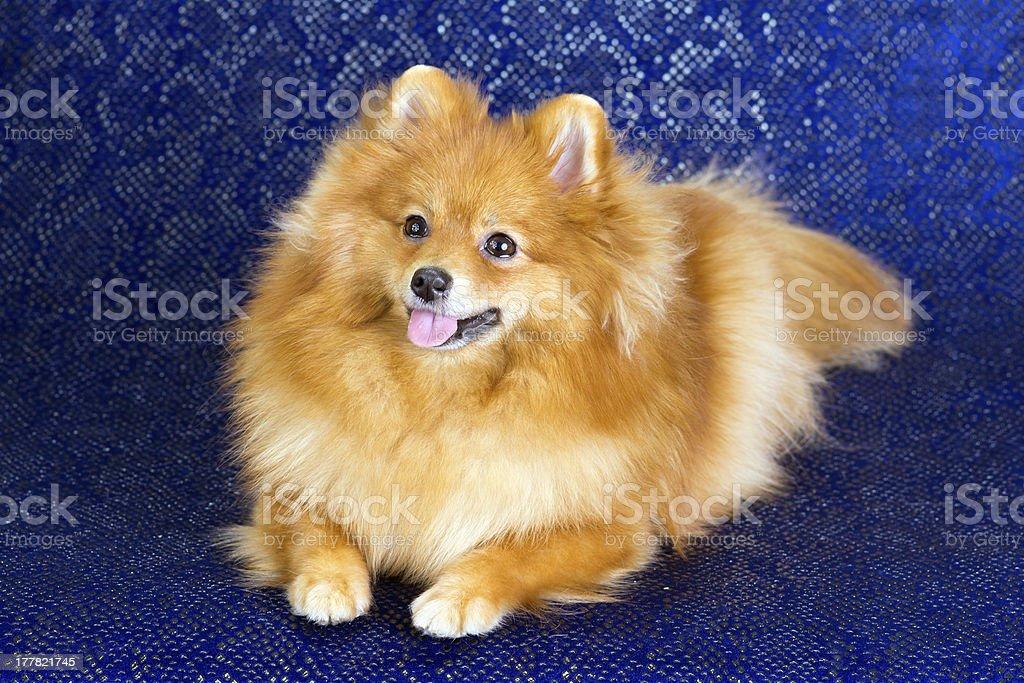 Pomeranian dog lying royalty-free stock photo