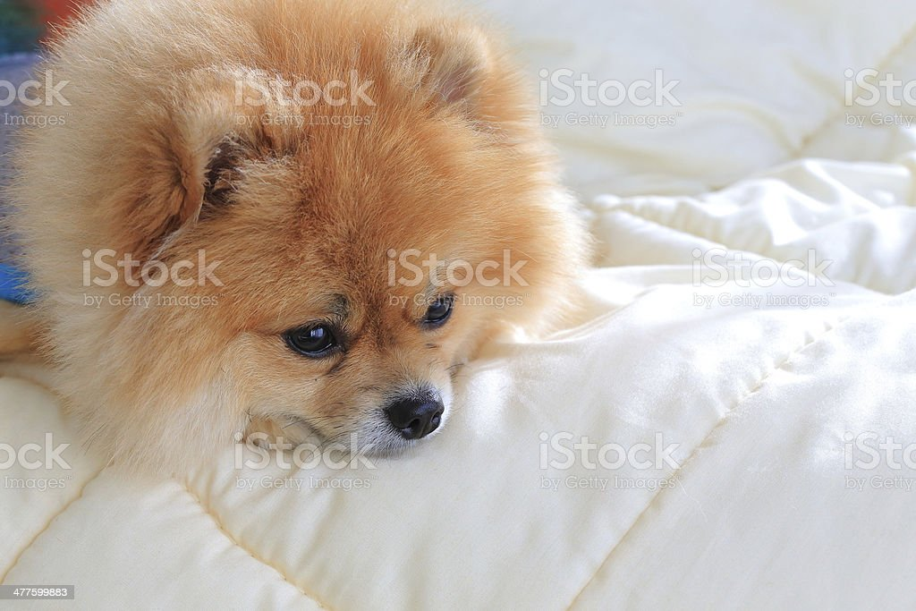 pomeranian dog on the bed at home royalty-free stock photo