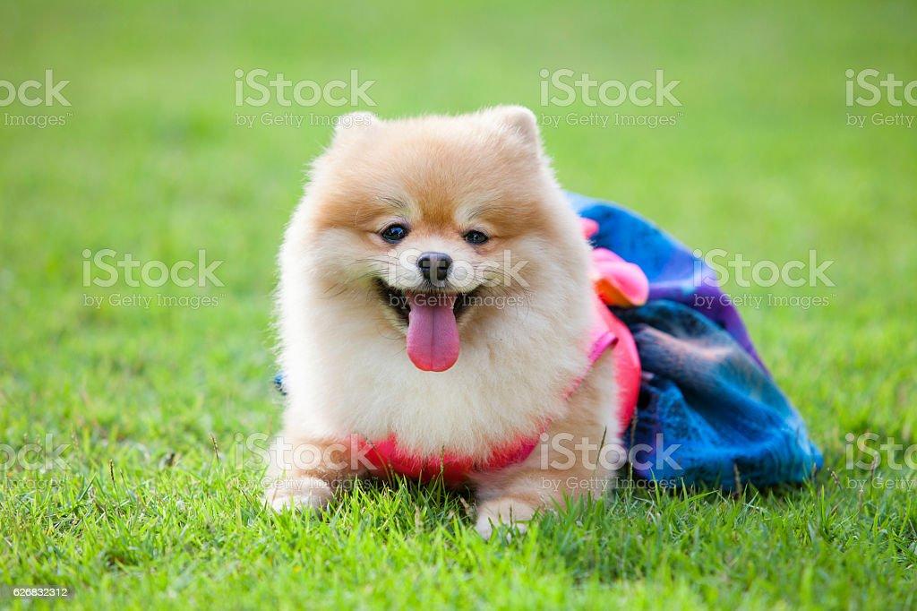 Pomeranian dog on the lawn stock photo