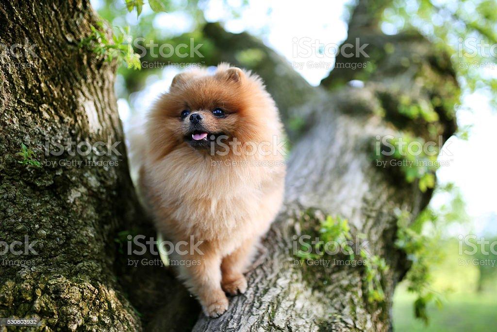 Pomeranian dog on tree. Beautiful dog. Spitz stock photo