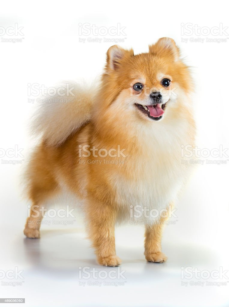 Pomeranian dog over white background stock photo
