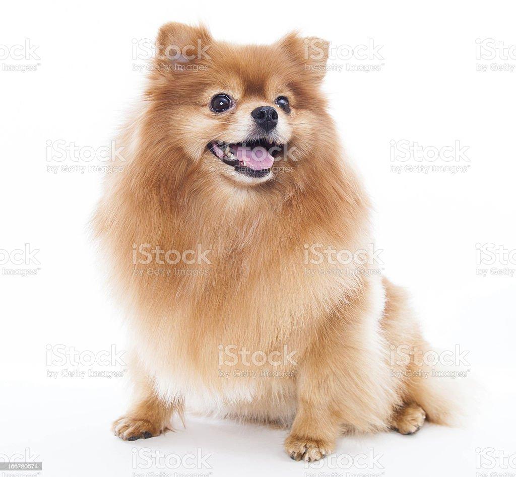 Pomeranian dog royalty-free stock photo
