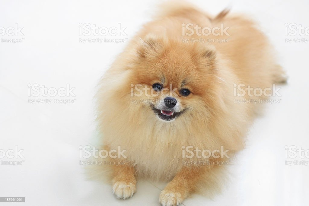 pomeranian dog royalty-free stock photo