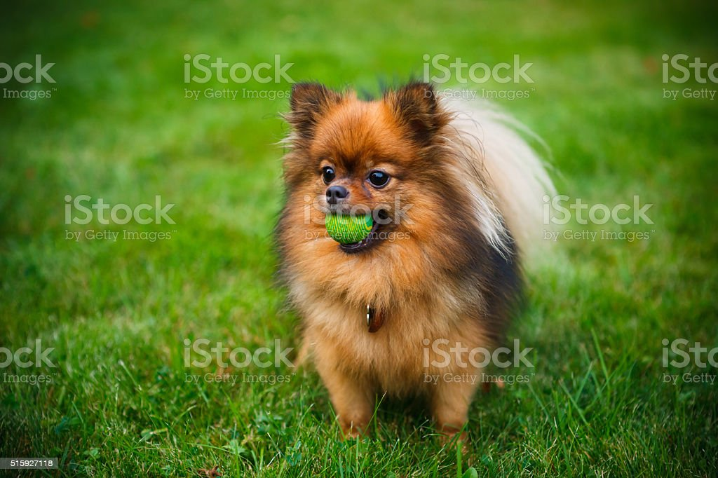 Pomeranian dog (Zwergspitz) stock photo