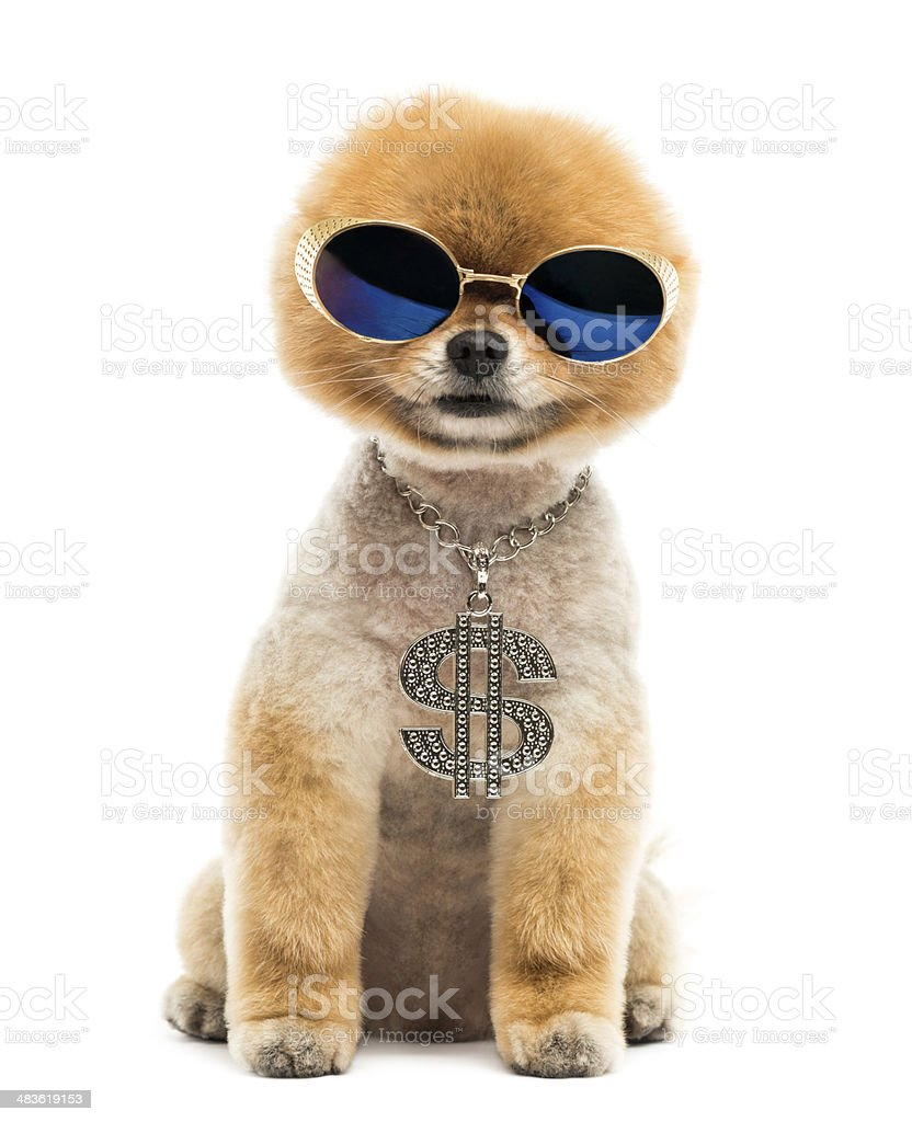 Pomeranian dog sitting, wearing dollar necklace and blue sunglasses stock photo