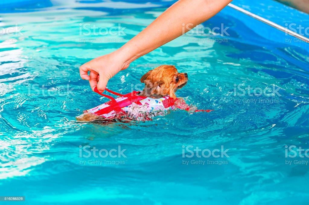 pomeranian dog swimming in the pool stock photo