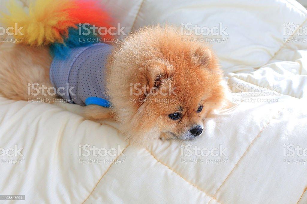 pomeranian dog wear clothes on be royalty-free stock photo
