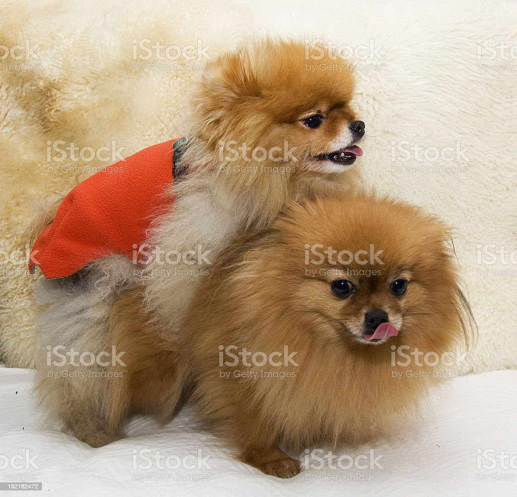 Pomeranian dogs mating stock photo