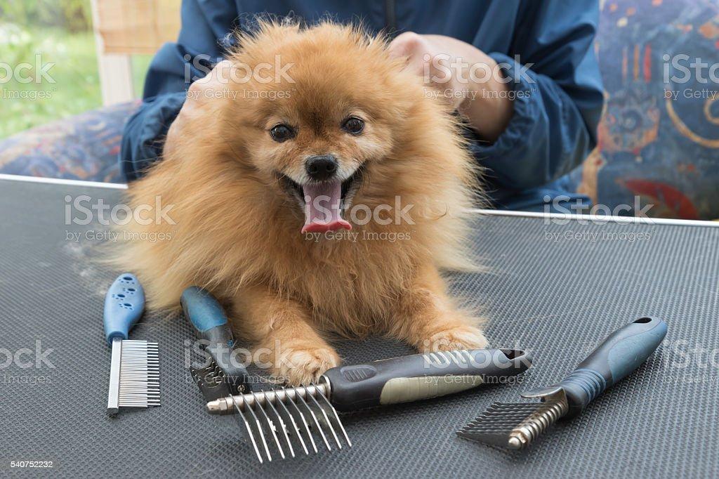 Pomeranian German Spitz dog and grooming combs stock photo