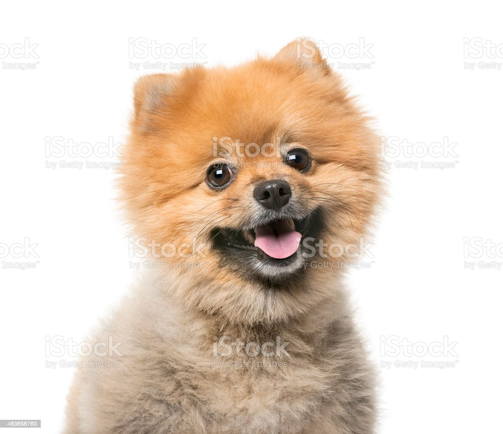 Pomeranian (3 years old) in front of a white background stock photo