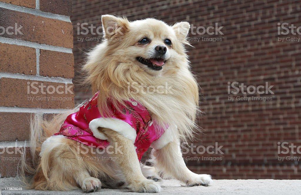 Pomeranian in pink coat stock photo