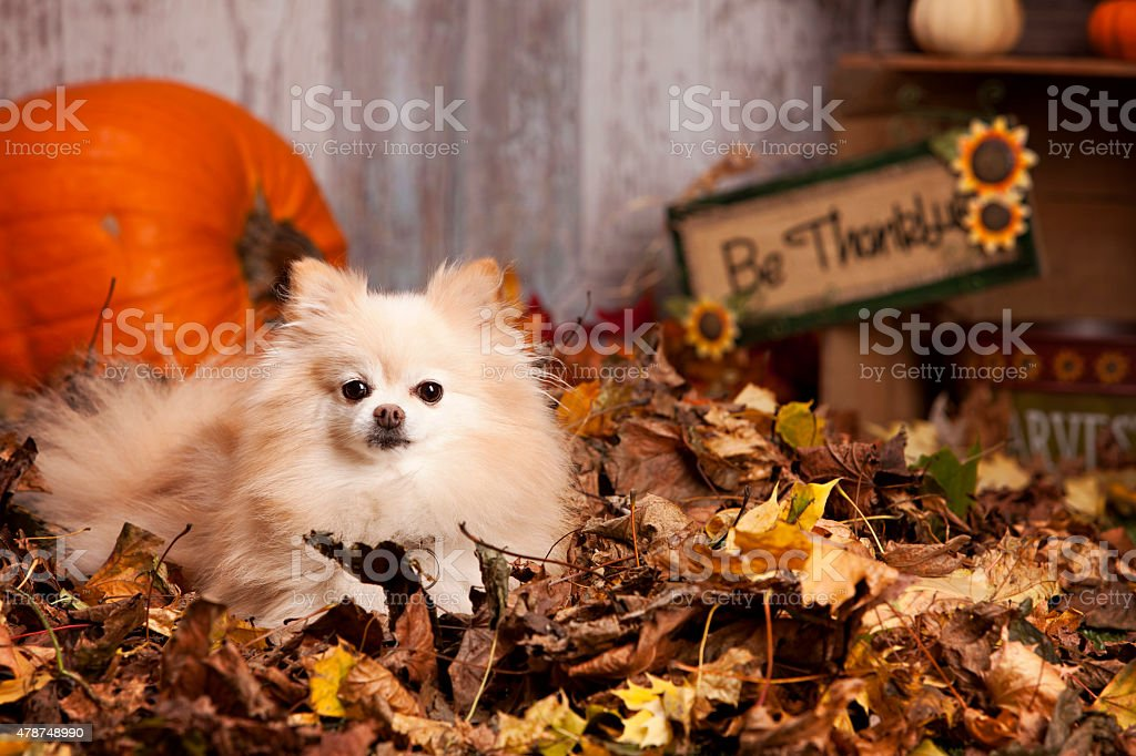 Pomeranian in the Leaves stock photo