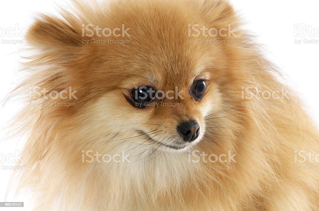 Pomeranian looking annoyed. royalty-free stock photo