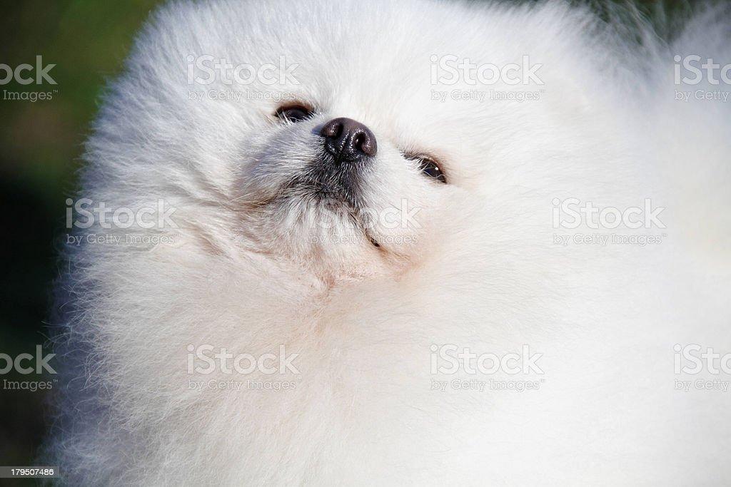 Pomeranian lulu royalty-free stock photo
