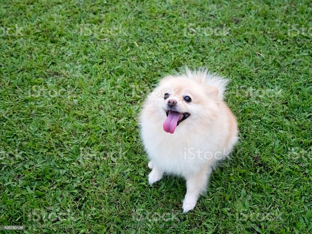 Pomeranian on the lawn. stock photo