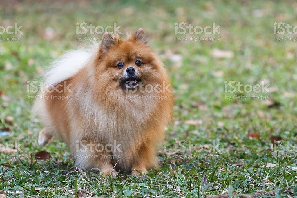Pomeranian royalty-free stock photo