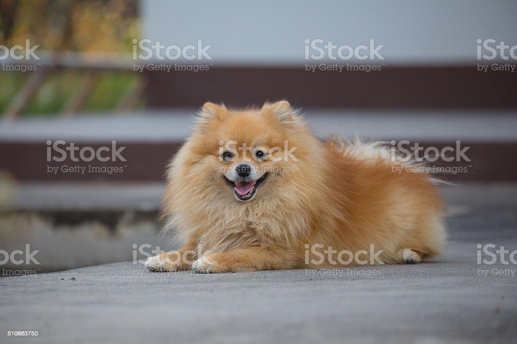 Pomeranian stock photo