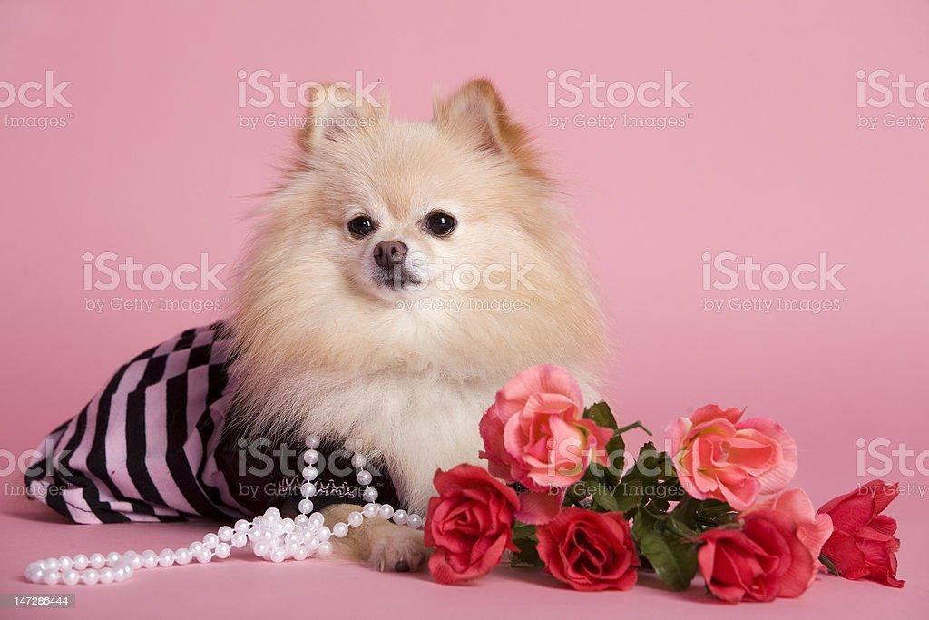 Pomeranian Pink royalty-free stock photo