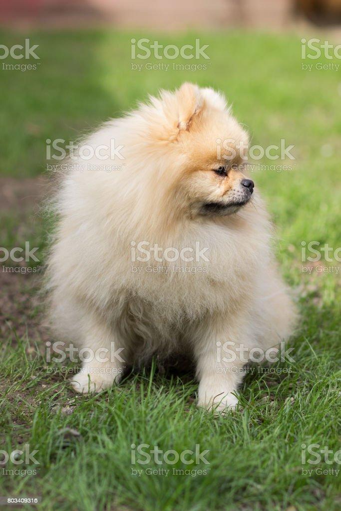 Pomeranian pomeranian beige sits contented on green grass stock photo