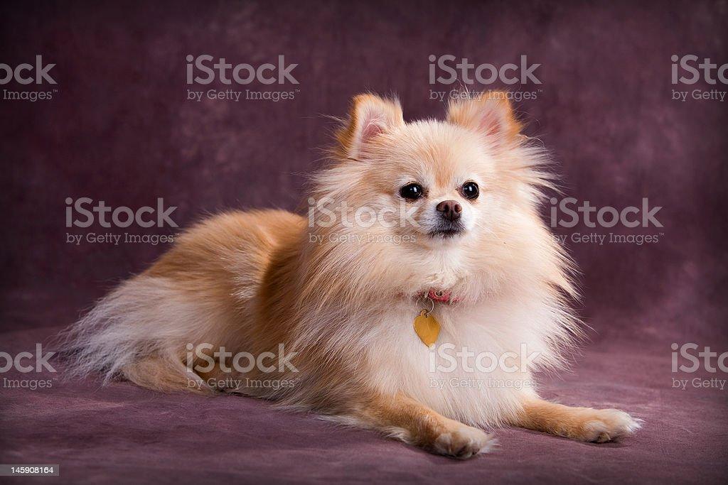 Pomeranian Portrait stock photo