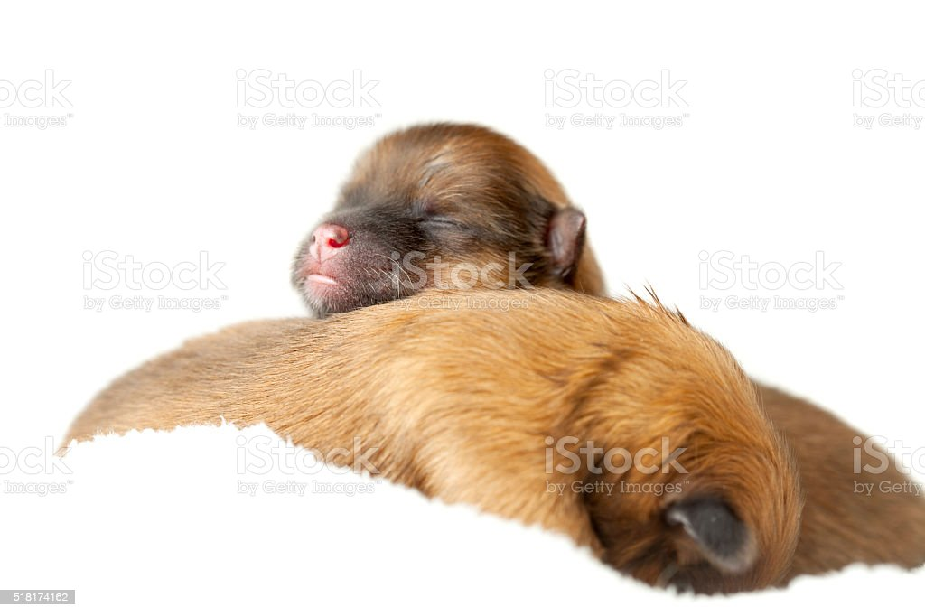 Pomeranian puppies, couple of days old stock photo