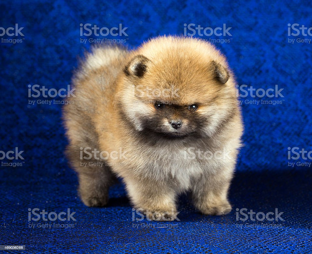 Pomeranian puppy age of 1,5 month over blue background stock photo