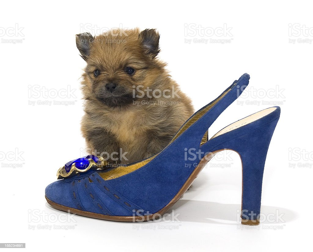 Pomeranian puppy and a blue shoe royalty-free stock photo