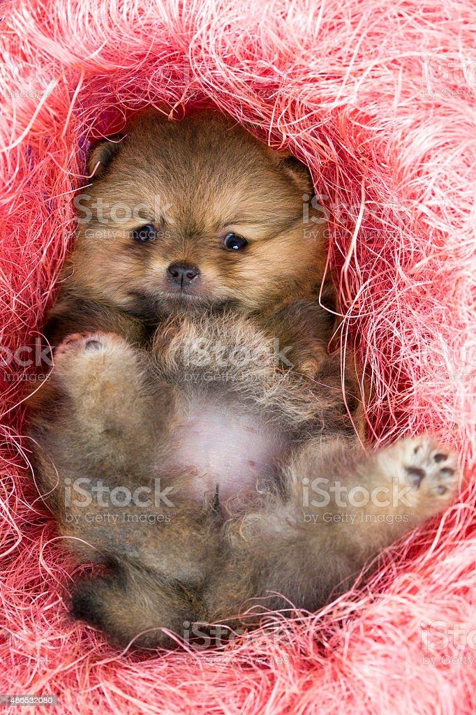 Pomeranian puppy in pink decorative nest stock photo