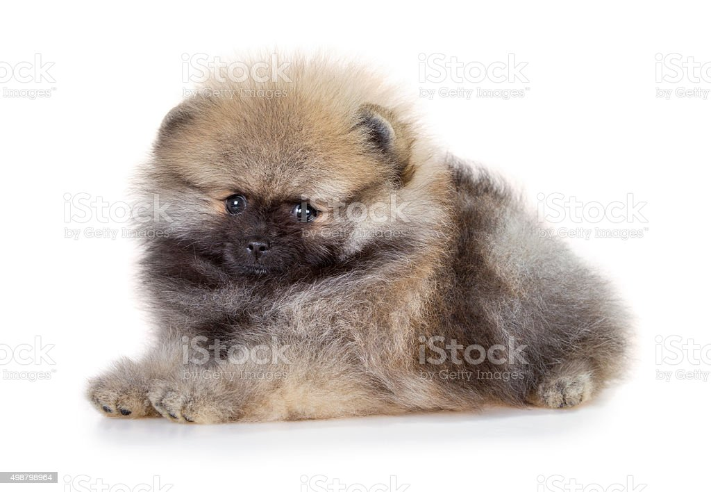 Pomeranian puppy on a white background stock photo