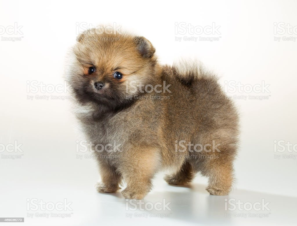 Pomeranian puppy over white background stock photo