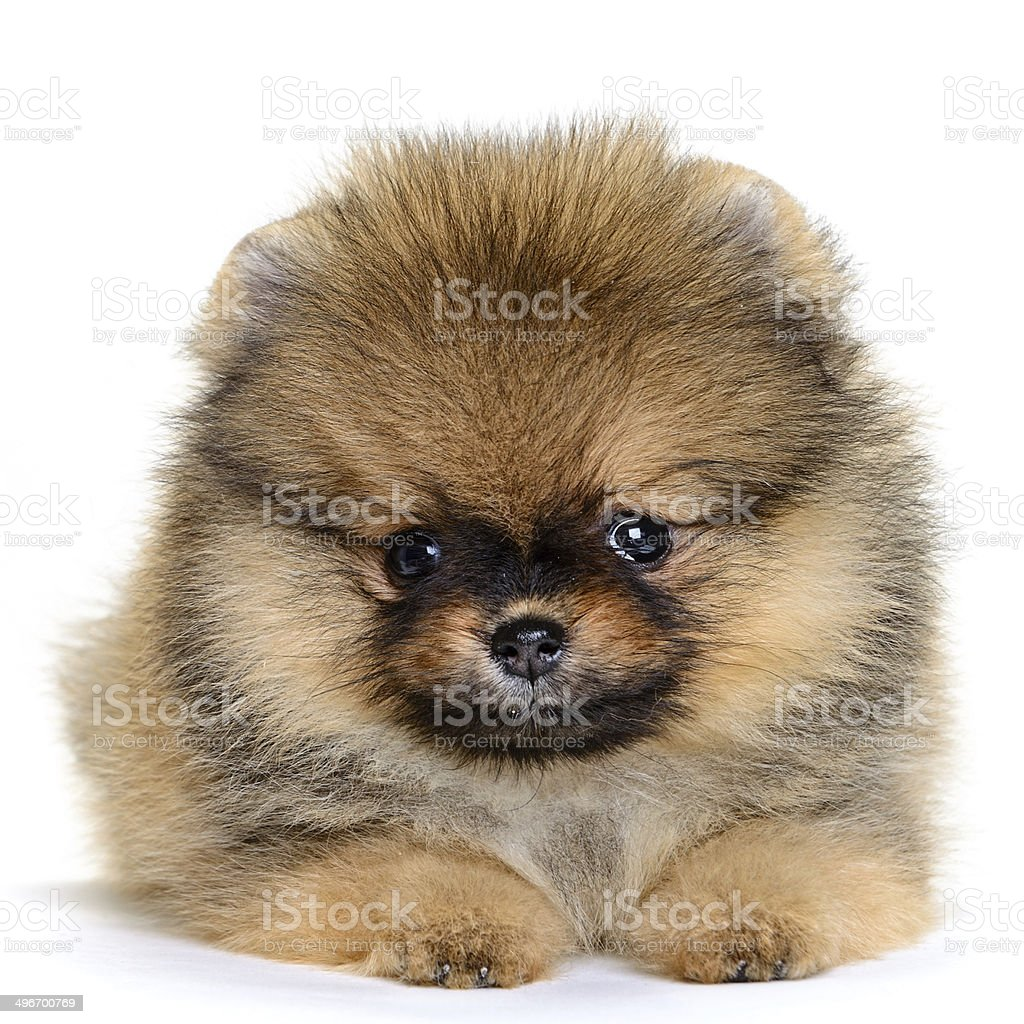 pomeranian puppy stock photo
