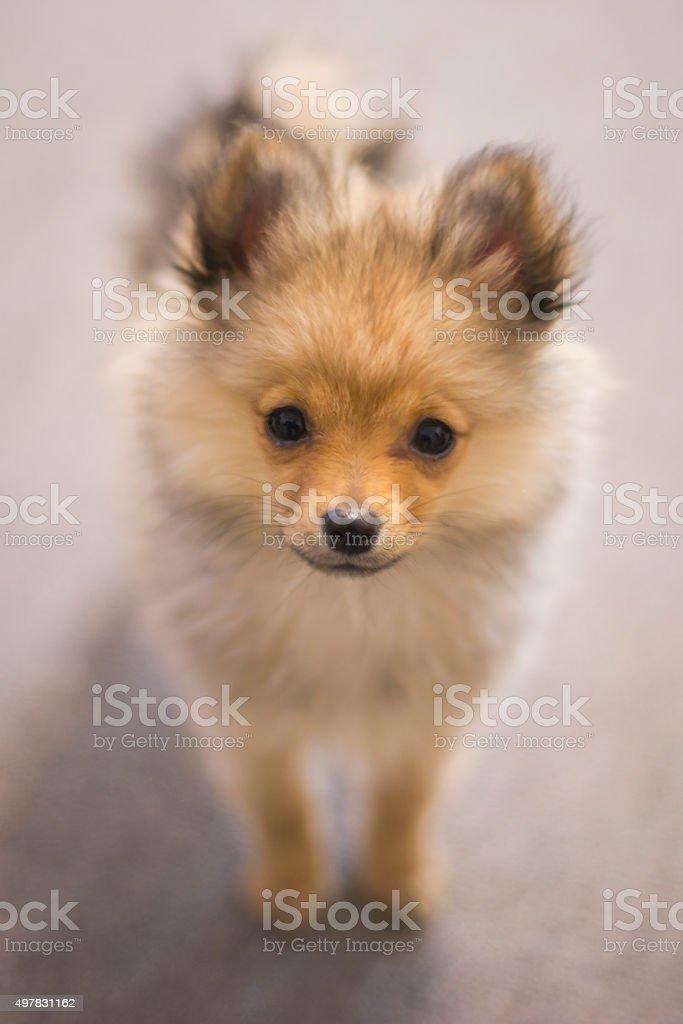 pomeranian puppy soft focus stock photo