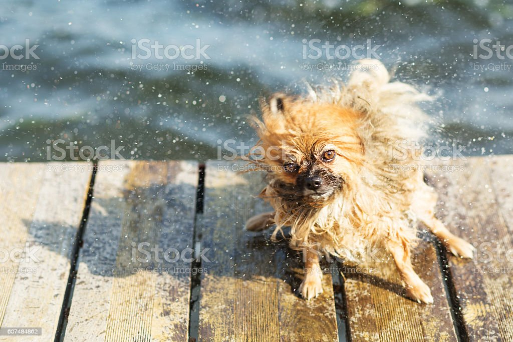 Pomeranian shakes water from his fur stock photo