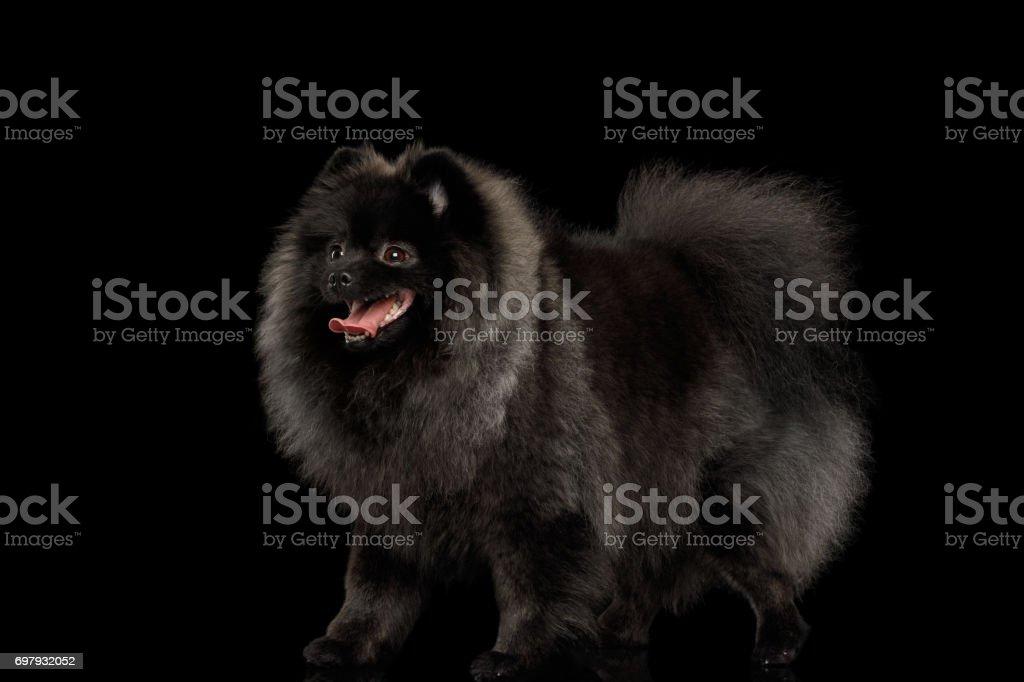Pomeranian Spitz Dog on Black stock photo