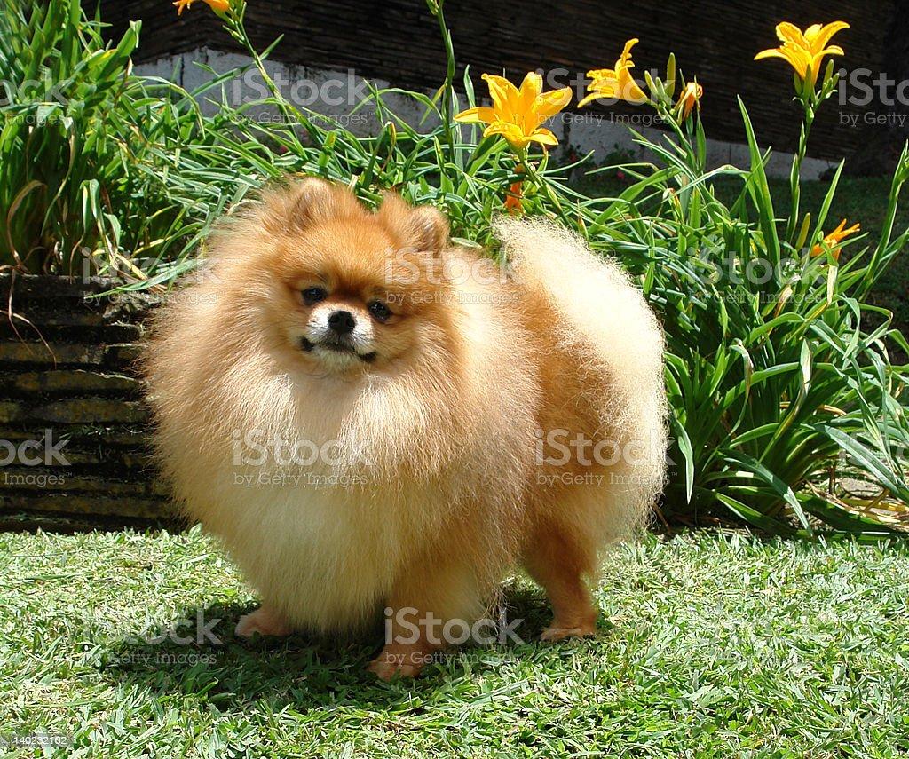 Pomeranian spitz dog stock photo