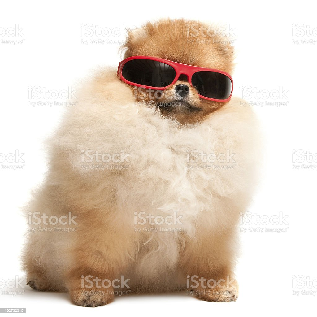 Pomeranian spitz puppy in red sunglasses stock photo